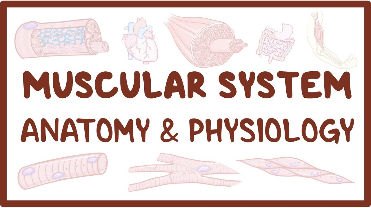 Muscular system anatomy and physiology - Osmosis