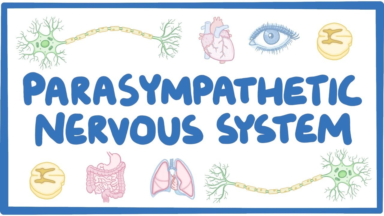 parasympathetic nervous system  video  u0026 anatomy
