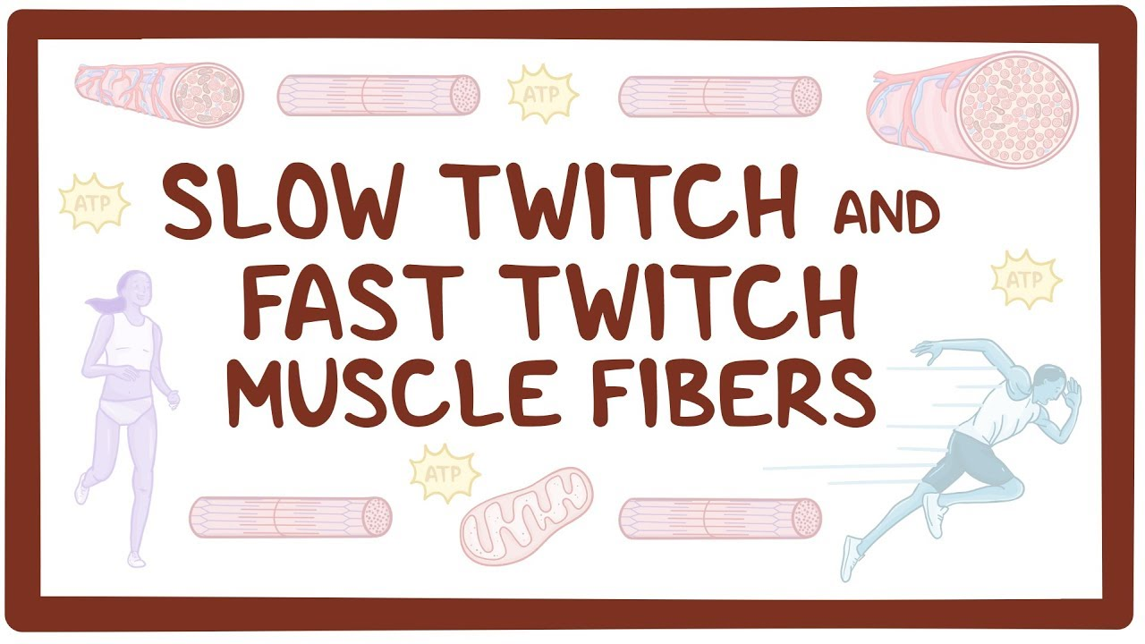 Slow twitch and fast twitch muscle fibers