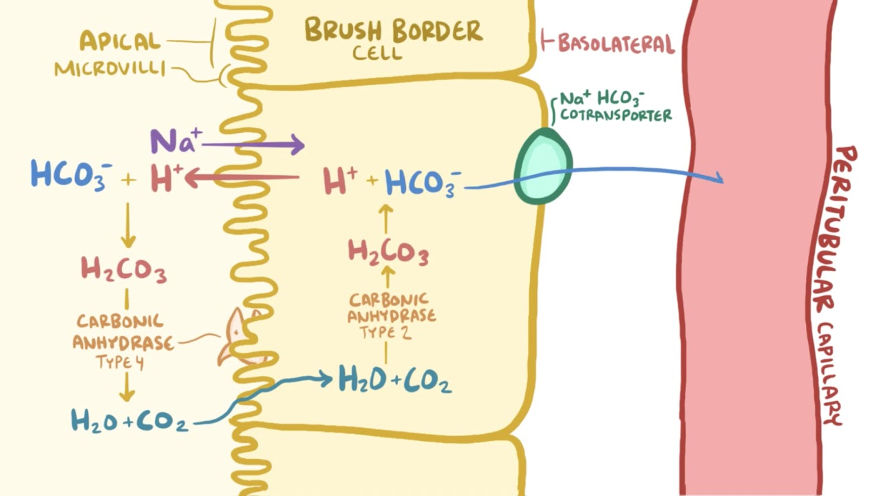 The role of the kidney in acid-base balance
