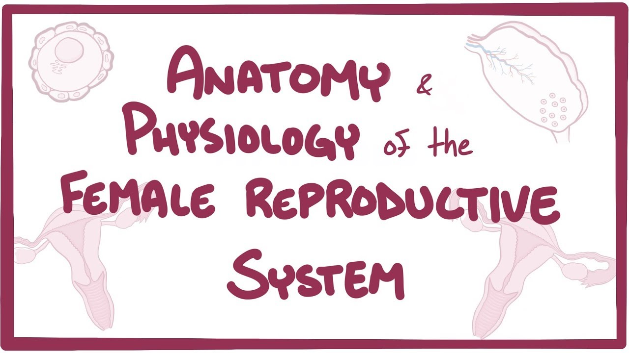 Anatomy and physiology of the female reproductive system - Osmosis