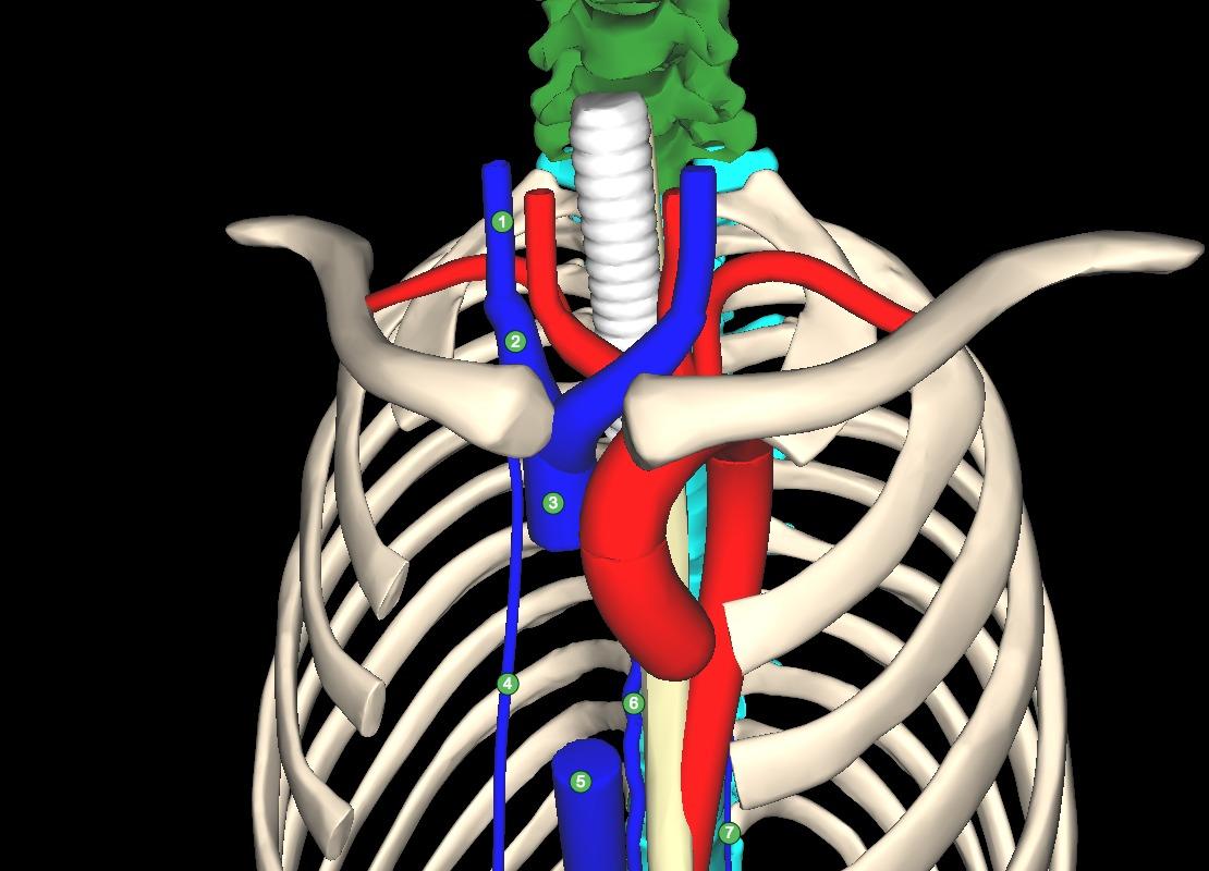 Internal thoracic vein - Osmosis