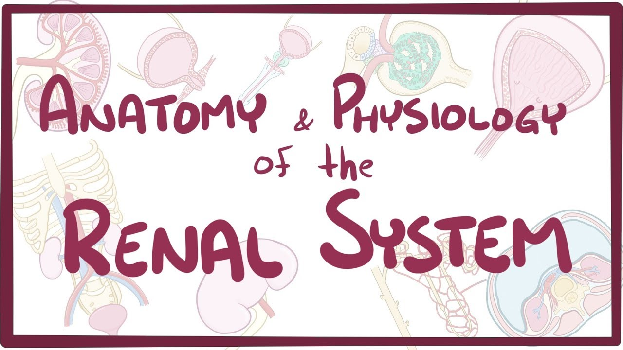 Renal anatomy and physiology - Osmosis