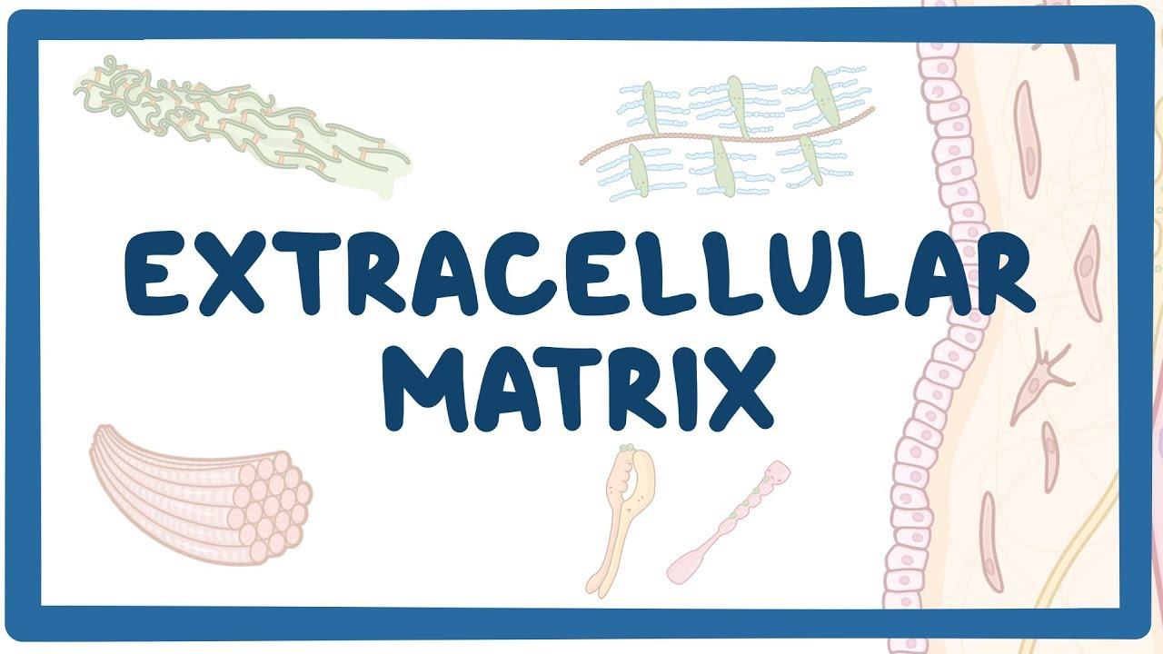 Extracellular matrix  Osmosis Video Library