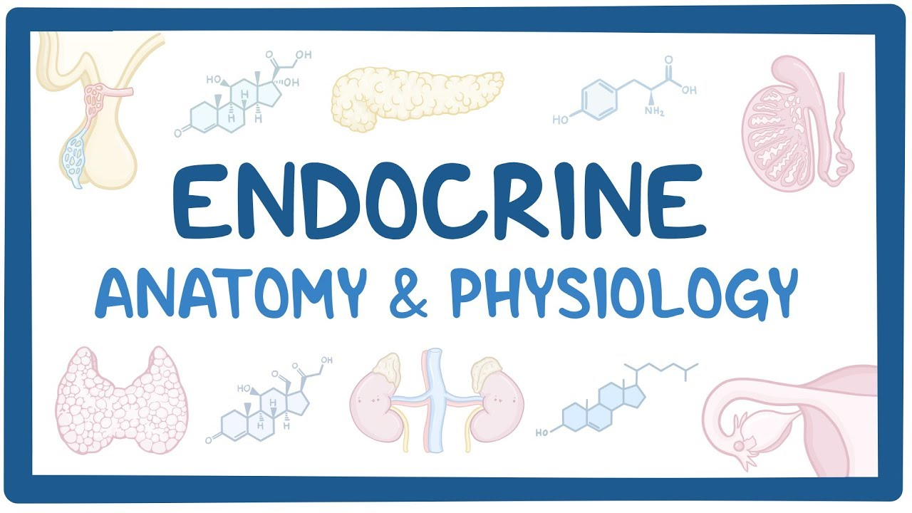 Endocrine Anatomy And Physiology Osmosis