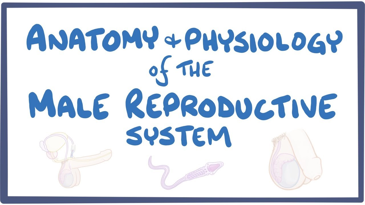 Anatomy And Physiology Of The Male Reproductive System Osmosis