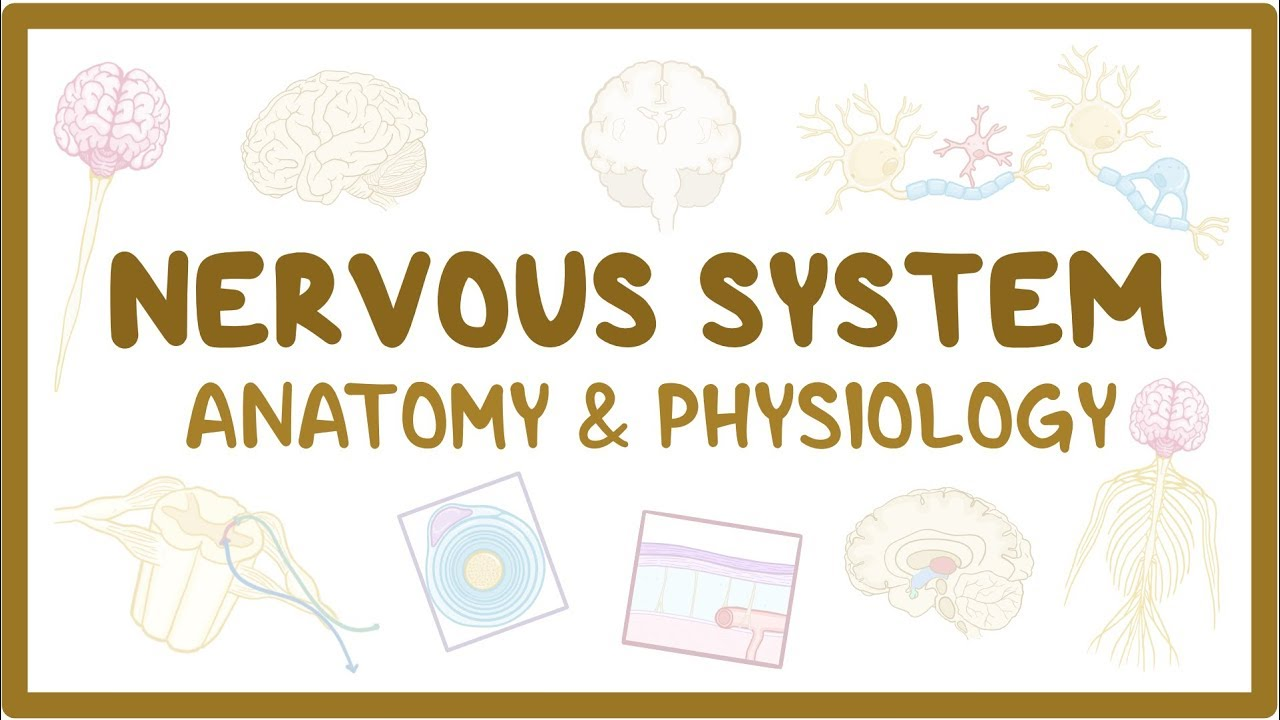 Nervous system anatomy and physiology - Osmosis